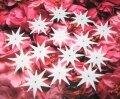 Пайтеки белые звёздочки